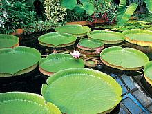 The giant Victoria Regia water lily can hold a young child